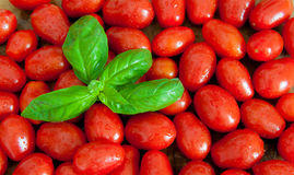 Fresh red tomatoes and green basil background Royalty Free Stock Image
