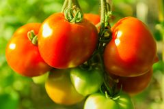 Fresh red tomatoes on a green farmer bed Royalty Free Stock Image