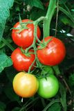 Fresh red tomatoes in the greenhouse Royalty Free Stock Photography