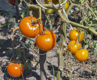 Fresh red tomatoes growing in a field closeup Royalty Free Stock Photography