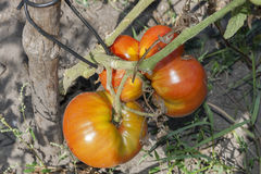 Fresh red tomatoes growing in a field closeup Royalty Free Stock Photos