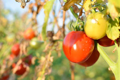 Fresh red tomatoes on plant Royalty Free Stock Photos