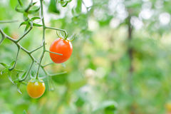 Fresh red tomatoes on plant Stock Photo
