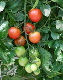 Fresh red tomatoes on the plant Stock Image