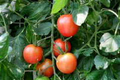 Fresh red tomatoes on the plant Stock Photos