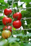 Fresh red tomatoes on the plant Royalty Free Stock Photography