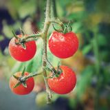Fresh red tomatoes on the plant Stock Photography