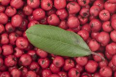 Fresh red toyon fruits with green leaf`. Closeup ripe red Heteromeles arbutifolia toyon fruit with single green leaf on top Royalty Free Stock Images