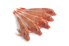 Fresh red Tub gurnard fishes Stock Image