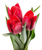 Fresh red tulip Royalty Free Stock Photos