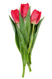 Fresh red tulip Stock Photography