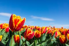 Fresh red tulip with bokeh background. Fresh Spring Composition Stock Photography