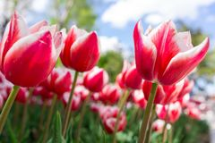 Fresh red tulip with bokeh background. Fresh Spring Composition Stock Photo