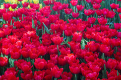 Fresh Red Tulip flower. Blossom in garden Royalty Free Stock Photography