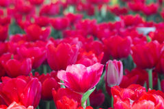 Fresh Red Tulip flower. Blossom in garden Royalty Free Stock Image