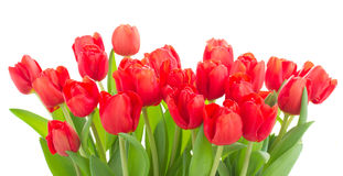 Fresh red tulip flowers Royalty Free Stock Photography