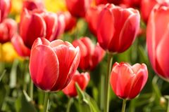 Red tulip flowers. Fresh red tulip flowers in the garden stock image