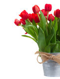 Fresh red tulip flowers. In metal bucket close up isolated on white background Royalty Free Stock Photo