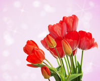 Fresh red tulips on abstract  background Stock Images