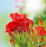 Fresh red tulips on abstract spring nature background Stock Photo