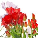Fresh red tulips on abstract spring nature background Royalty Free Stock Image