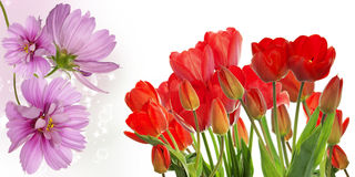 Fresh red tulips on abstract spring nature background Stock Image
