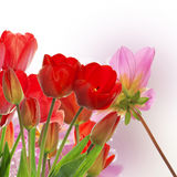 fresh red tulips on abstract spring nature background Stock Images