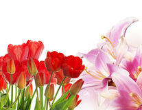 Fresh red tulips on abstract spring nature background Royalty Free Stock Photo
