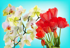 Fresh red tulips  and flowers orchid. Stock Image