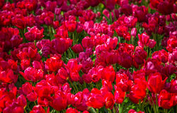 Fresh red tulips Glade in the Keukenhof garden, Netherlands Royalty Free Stock Image