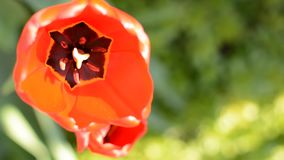 Fresh red tulips goes out of focus. stock video