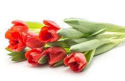 Fresh red tulips isolated on white stock photo