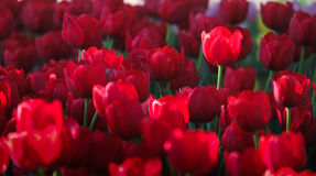 Fresh red Tulips. With natural sun light Stock Photo