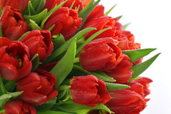 Fresh red tulips with water drops Stock Photo