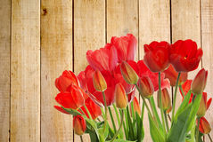 Fresh red tulips on wooden  background Royalty Free Stock Photos