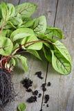 Fresh Red Vein Sorrel. Red Vein Sorrel on Wooden Table Stock Images