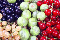 Fresh red, white, black currants and gooseberry. Close up Stock Image