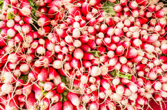 Fresh red and white radishes. Freshly harvested red and white radishes on display at the farmers market Stock Image