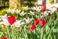 Fresh red and white tulip flowers background with sunshine in the garden stock photos