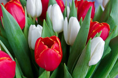 Fresh red and white tulips Royalty Free Stock Photo