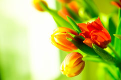Fresh red and yellow tulips in bouquet. Stock Image