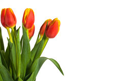 Fresh Red and Yellow Tulips on White Background. Beautiful red and yellow tulips presented on white background with plenty of room for copy royalty free stock photography
