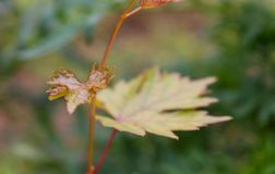 Fresh reddish yellow leaf of domestic grape in macro royalty free stock image