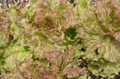 Fresh redleaf lettuce growing, background. A mass of fresh redleaf lettuce growing in a garden, closeup horizontal Stock Image