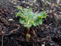 Fresh rhubarb growing Stock Image