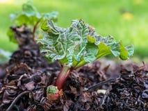 Fresh rhubarb growing Royalty Free Stock Image