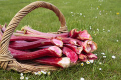 Fresh rhubarb shoots Royalty Free Stock Photos