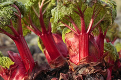 Fresh rhubarb shoots Royalty Free Stock Images