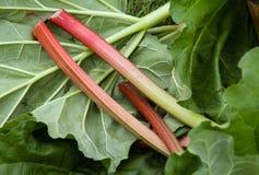 Fresh rhubarb stalk harvest Stock Image