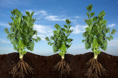 Fresh Ribbed Celery Growing. Side view of planting celery with sky panorama Royalty Free Stock Photo